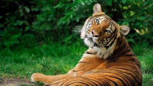 An ironic picture of a tiger when the post is talking about lions.